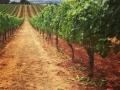 Chapter 24 Vineyards - image 02.jpg