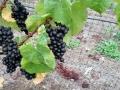 Steelhead Vineyards - image 02.jpg